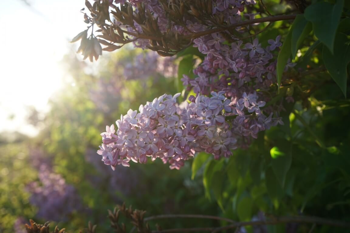 Lilac flower at sunset