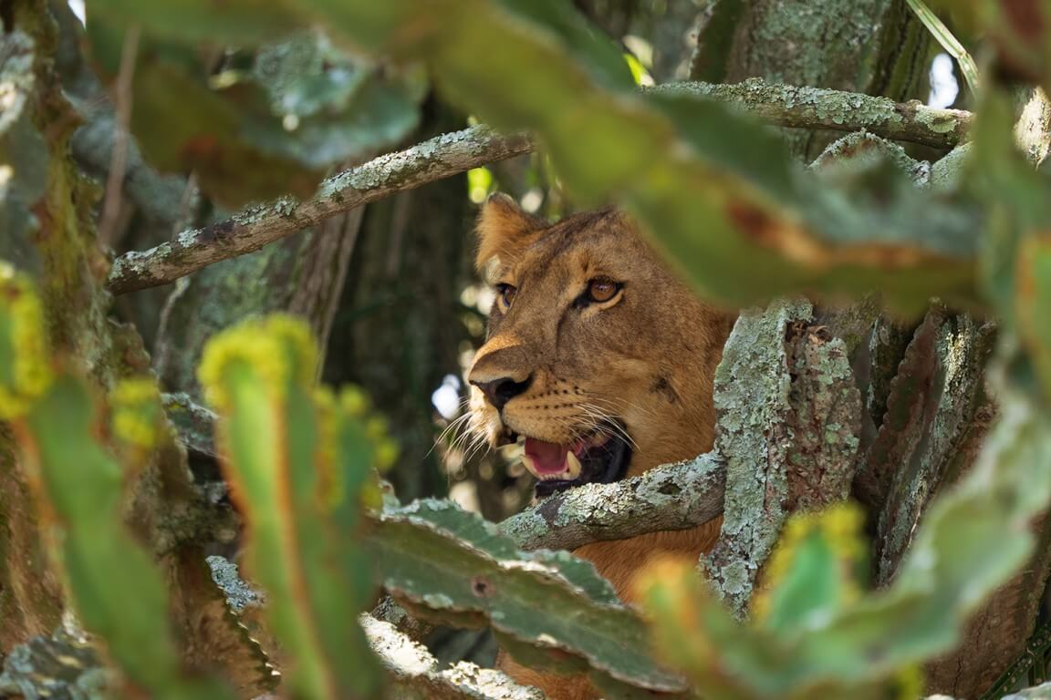 Lioness in the bush