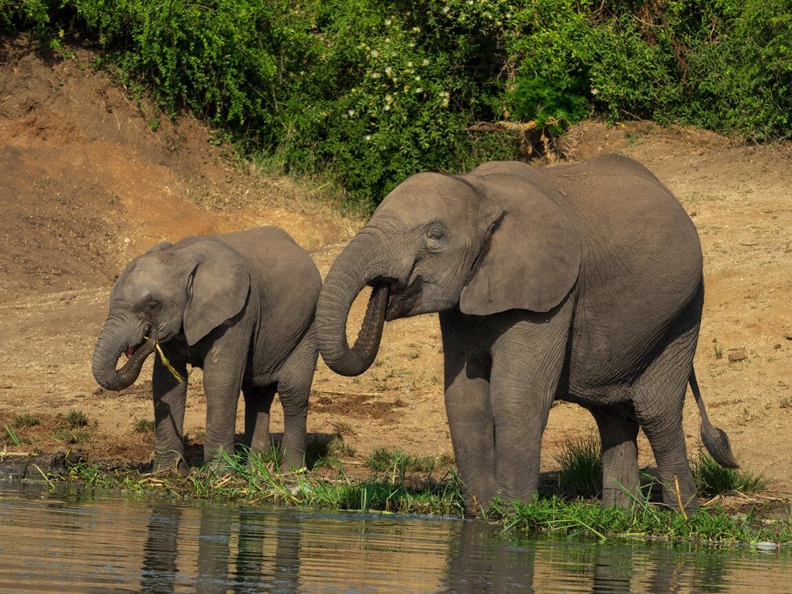 Elephants from Uganda in Africa
