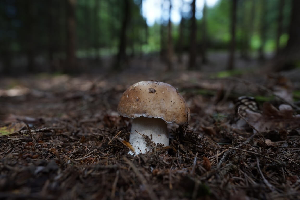 Right boletus from the forest of southern Bohemia