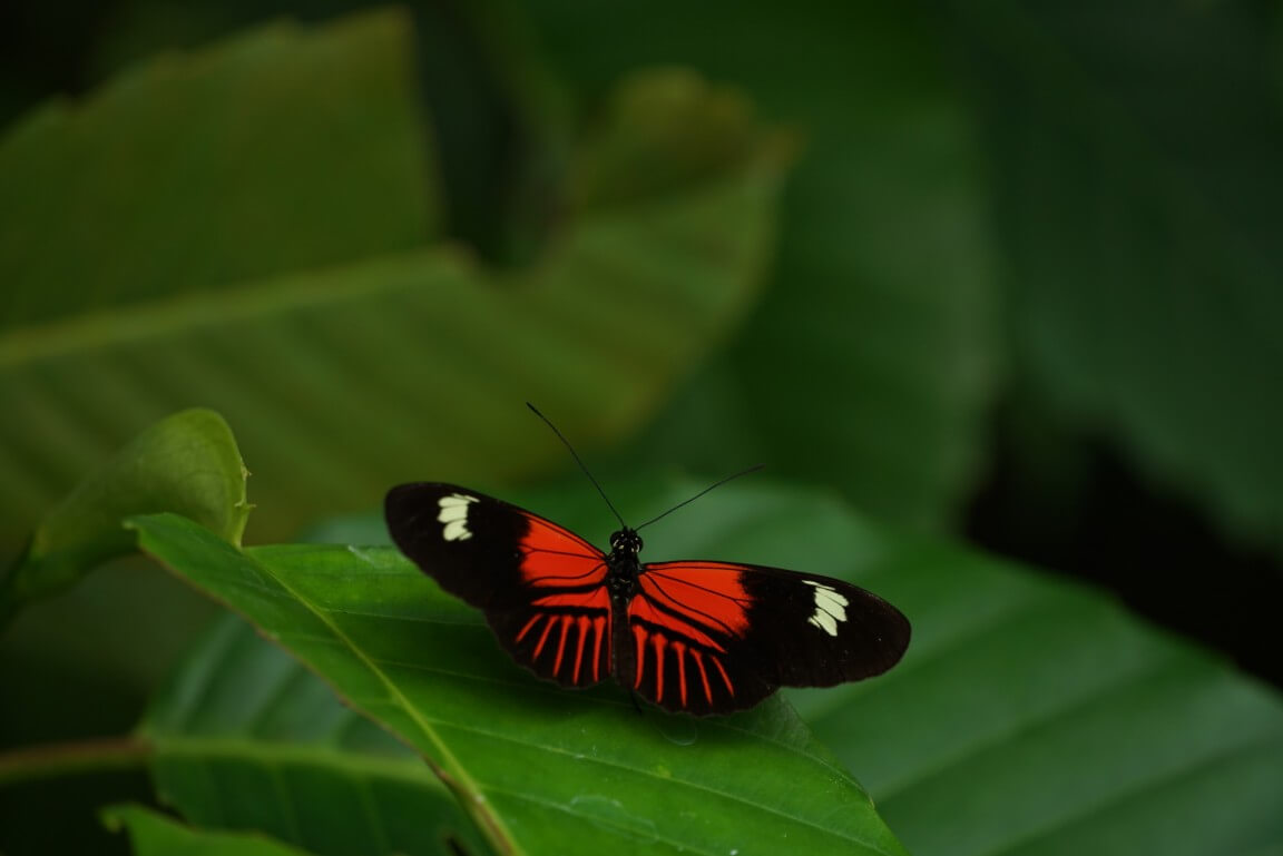 Poisonous butterfly genus Heliconius