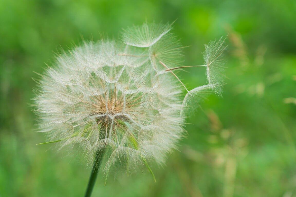 Big dandelion
