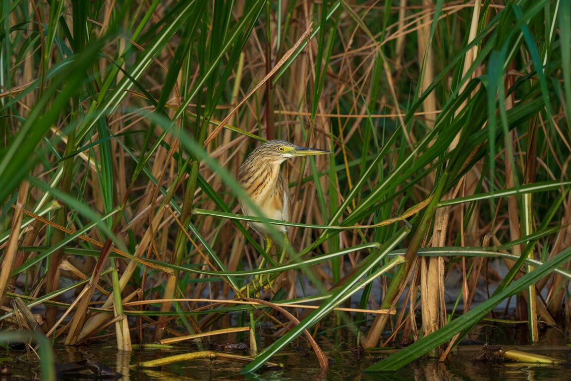 Squacco heron from Africa