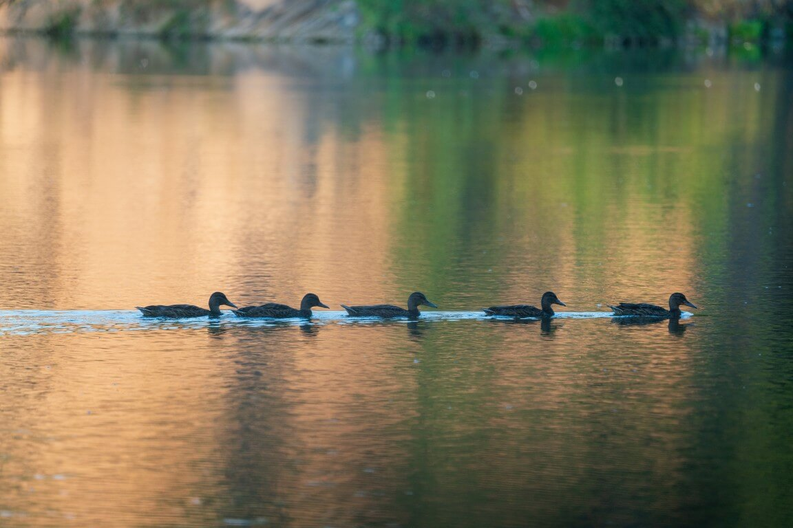 Duck convoy
