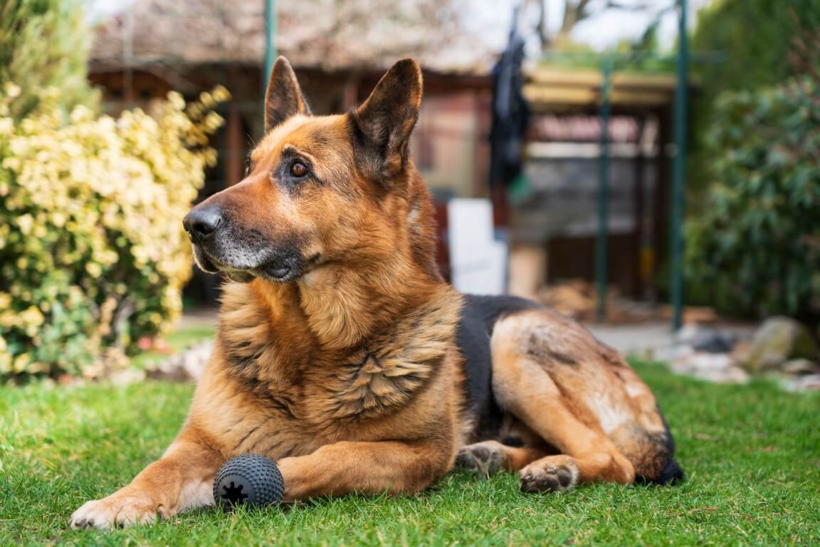 German Shepherd dog Ronny